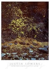 Star Spangled Maples (Justin Lowery) Tags: largeformat film analog velvia velvia100 fujifilm fuji fujichrome intrepid intrepidcamera zionnationalpark zion fall autumn fallcolor maple yellow trees canyon