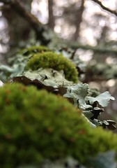 #Moss #tree #trees #woods #forest #woodland #growing #limb #branch #Connecticut #Mike #Liebler #wilderness #nature #Mikey #patches #of #mosses #Vernon #Tolland #Bolton (mikeliebler222) Tags: lichens lichen foliose lychnis moss tree trees woods forest woodland growing limb branch connecticut mike liebler wilderness nature mikey patches mosses vernon tolland bolton