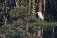 DSC_2579.jpg (Saztul) Tags: bird heron reiher wildlife nature natur vogel emstek niedersachsen germany de