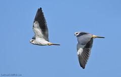 / Black-shouldered Kite / Elanus caeruleus (bambusabird) Tags: birds kite nature blue flight fly chiangmai doilo thailand bambusabird