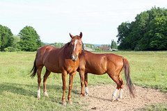 perigord 1 horses (look4luck) Tags: horses france canon perigord cheveau
