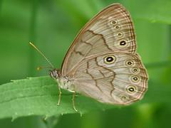 Eyed Brown - Satyrodes eurydice (midimatt) Tags: wisconsin butterfly wi newburg brownbutterfly saukville eyedbrown satyrodeseurydice ozaukee riveredgenaturecenter mattdrollinger matthewdrollinger