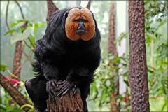 (pappleany) Tags: tiergarten tier nürnberg primat pitheciapithecia säuger weisgesichtssaki manatihaus pappleany