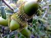 1-DSCF9169 (adioslunitaadios) Tags: campo bellotas frutosdelbosque