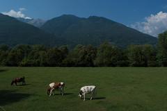 Paesaggio svizzero (Astralh) Tags: summer mountain verde classic landscape cow estate swiss svizzera prato montagna paesaggio mucche
