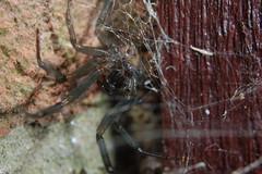 Mummy Steatoda (Procrustes2007) Tags: uk england spider suffolk britain wildlife arachnid flash nikond50 sudbury closeuplens wildlifephotography falsewidow steatodanobilis d50nocturnal afsnikkor1855eddx gridreftl883407