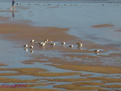 Gaviotas al sol (silviapm85) Tags: beach water birds agua gijn asturias playa olympus pajaros gaviotas playasanlorenzo e410
