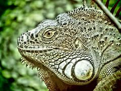 caméléon (sergio.pereira.gonzalez) Tags: paris nature canon zoo vincennes cameleon sergiopereiragonzalez