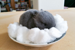 10 days old (Craf'it Cakes) Tags: baby cute rabbit bunny purebred netherlanddwarfrabbit