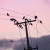 Tue 20-Oct (293 / 365 / 2015) - The Night's Watch (Steev McAlister) Tags: ecology dawn day event environment 365 crows dates telegraphpole roosting edition environmentalism ecosystem 293 day293 2015 293365 day293365 365the2015edition 3652015 20oct15