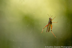 Grasshopper on the Glass (Avelino Zepeda) Tags: guelph ontario canada avelinozepeda avelinozepedaphotography