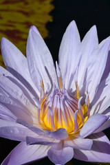 Close Up of Water Lily 2 (bmasdeu) Tags: flowers water garden outdoors pond waterlily lilies tropical lilypad fairchild