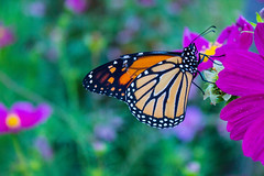 Monarch Butterfly on Cosmos, 2015 (marylea) Tags: butterfly insect explore monarch monarchbutterfly 2015 aug28 explored