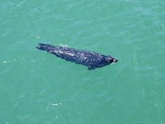 2015.07.30-13.12.38 (Pak T) Tags: ocean california sea animal santabarbara swimming pacificocean seal panasonic1235mmf28