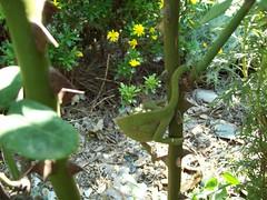 bukalemun-1 (anneler) Tags: hayvan srngen