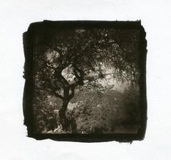 California. Vandyke. (Dguyzé) Tags: blackandwhite bw tree canson arbre vandyke ipad vandykebrown altprocess vandykebrownprint vandykeprint altprint altprinting