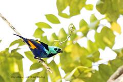 Seven-colored Tanager - Pintor-verdadeiro -Tangara fastuosa