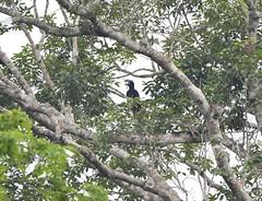 Amazonian Umbrellabird (Cephalopterus ornatus) (perdixphotos) Tags: amazonian umbrellabird cephalopterus ornatus
