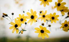 sun blooms (almostsummersky) Tags: grow morning summer plant outdoor flowers blackeyedsusan nature wisconsin pheasantbranchcreekconservancy middleton bloom yellow petals walk unitedstates us