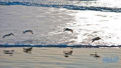 birds in the surf 193 LR (bradleybennett) Tags: water river ocean stream creek beach shore shoreline line coast tide