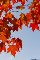 DUI_6852r (crobart) Tags: maple leaves fall colours colors