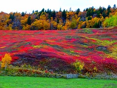 Nature's vibrant tapestry of fall colours: A series (+7) (peggyhr) Tags: peggyhr wildlowbushblueberries autumn richtapestryofcolours dsc06403a cumberlandcounty novascotia canada fence hill woodlands vacciniumaugustifolium thegalaxy 60faves~ super~sixstage2silver thelooklevel1red thelooklevel2yellow frameit~level01~ level1photographyforrecreation infinitexposurel1 level1peaceawards niceasitgets~level1 coverphoto infinitexposurel2 30faves~ frameit~level02~ groupcoverphoto frameit~level03~