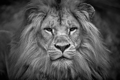 portrait de lion (rondoudou87) Tags: lion portrait face visage parc zoo reynou pentax k1 black blackwhite blanc noiretblanc noir monochrome wild wildlife sauvage