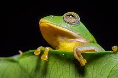 Rhacophorus taipeianus -  - Taiwan Endemic tree frog - Olympus 60mm F2.8 Macro (Akira Hsu ) Tags: rhacophorus taipeianus  taiwan endemic tree frog olympus 60mm f28 macro taipei treefrog mzd m43    pen epl5 endangered