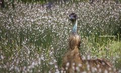 Emu (Jacqui Barker Photography) Tags: australianwildlife emu bird australiannativeanimal flindersranges southaustralia australia