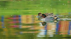 10 25 2015 Fff Medley of Colours (srypstra) Tags: greenwinged teals colours
