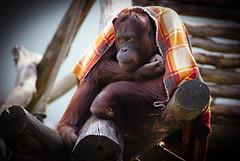 DSC03169-2 (hofferp) Tags: animallove animalphotos animals zoobudapest zoolife hungary sostozoo sonya300 sonydslr sonycam tiger whitelion littlepanda katta lion zebra orangutan