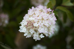 Flores (rosa.africa23) Tags: flowers flores landscape macro finland finlandia helsinki