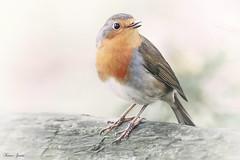 Robin Singing (Karen James) Tags: red robin bird log white cold singing kj