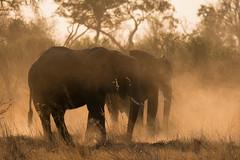 Elephants (moments in nature by Antje Schultner) Tags: elephants elefanten dust staub moremi botswana africa