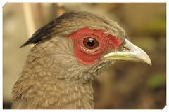 Fazant (_BieFeen) Tags: bird canon fazant zoom