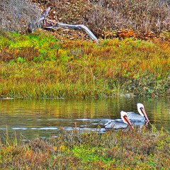 Two pelicans came a-swimmin' (Dom Guillochon) Tags: nature time life water famosa slough pelicans swimming existence reality dream salt marsh