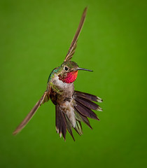 Broad-tailed Hummingbird (Eric Gofreed) Tags: arizona broadtailedhummingbird cocoinocounty hummingbird