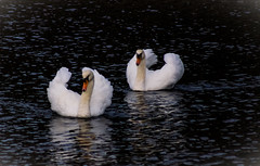 swans-200 (TB 5161) Tags: norway nature natur norge noreg hordaland lysekloster sony sonyslta77 water swan swans bird outdoor
