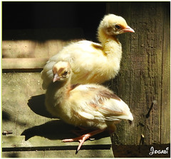 Bébés paons - Peacocks Babies (2 photos in comments) (Jogabi - Michèle) Tags: paon peacock coth5 ngc saariysqualitypictures npc sunrays5