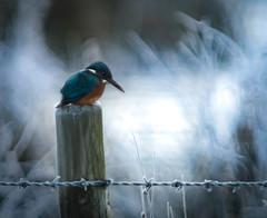 Kingfisher frosty morning. (gizmo-the-bandit) Tags: photoshop cumbria kingfisher winter morning dawn nature uk wildlife