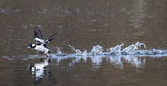 Water Jog (Frank Coster) Tags: bif bufflehead duck 2016 salmoncreek