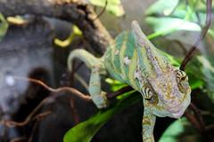 Chamäleon (JuliSonne) Tags: reptil kriechtier chamäleon jemenchamäleon schuppen farbwechsel