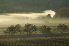 Brumes matinales (Thierry ARAGON) Tags: paysage vignes brumes arbre matin