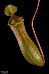 Nepenthes x ventrata (Andrew Snyder Photography) Tags: nepenthes ventrata nepenthesventricosa nepenthesalata nepenthesxventrata pitcherplant tropicalpitcherplant pitcher