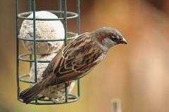 Male House sparrow (david.england18) Tags: housesparrow smallbirds tits blue coal great backgarden robin blackbird canon7d canonef70200mmf28lisllusm birdsuk