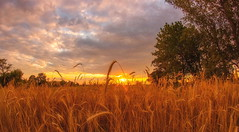 Gold On Gold. (williams.darrell53) Tags: oats rural country canon samyang darrell williams australia