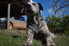 Oscar (natashanott) Tags: pet dog dogs cute pup puppy playful adorable beautiful canine cutie sweet playing heeler blue cross