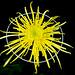 Chrysanthemum+%3A+%E5%A4%A7%E8%8F%8A%EF%BC%88%E7%AE%A1%E7%89%A9%EF%BC%89