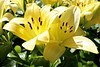 A Gift of Gold_1200 (Rikx) Tags: lilies yellow yellowlilies flowers sunlight garden outdoor spring springtime gift adelaide southaustralia