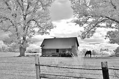 Rural Zebulon (Neal3K) Tags: kolarivisionmodifiedcamera zebulonga infraredcamera georgia blackandwhite bw ir horses